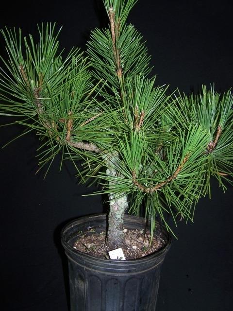 STK02-02 Pinus thunbergii Kyokko Yatsubusa 9 yr-0