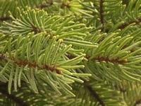 Picea glehnii -0